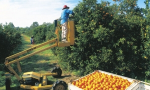 TQLD Fruitpicking Orangen 300