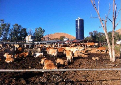 Psycho-Terror auf einer Milchfarm